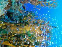 Glass fish. Colony next to Fire coral Stock Photography