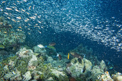 Glass fishes giant bait ball moving underwater Stock Photo