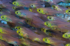 Glass Fishes in the Red Sea Stock Images