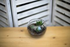 Glass flower pot, form of a dodecahedron with Echeveria and aloe, various succulents in the interior in the aquarium composition o. F succulent plants in the Royalty Free Stock Photos