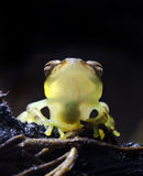 Glass Frog Royalty Free Stock Image