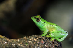 Glass frog Royalty Free Stock Photography