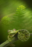 Glass frog in Amazon rain forest Royalty Free Stock Image