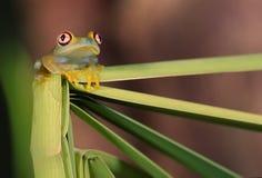 Glass frog (centrolene). Transparent Glass frog on reeds Stock Image