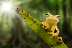 Glass frog on leaf in Amazon rain forest stock photo