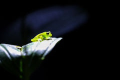 Glass frog in the spotlight Royalty Free Stock Photography