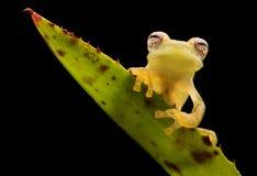 Glass frog, Teratohyla pulverata royalty free stock image