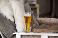Glass of tasty, golden beer in october royalty free stock photos