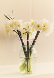 Glass jar with fresh white daffodils Royalty Free Stock Photo