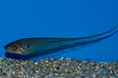 Glass Knifefish. Knifefish are perennial favorites for exotic home aquariums. This Glass Knifefish is no different, with its unique body shape, transparent color royalty free stock images