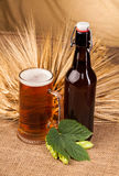 Glass of light beer and spikes of barley Royalty Free Stock Images