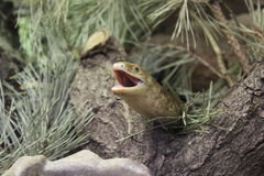 Glass lizard with an open mouth Stock Image