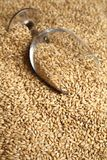 Glass of malt. Beer glass full of barley malt lying on malt grains Royalty Free Stock Photo