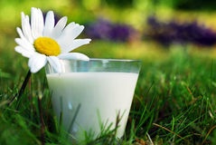A glass of milk 2. A glass of a milk in the garden Royalty Free Stock Photography