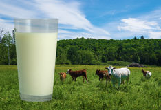 Glass of milk and cows Royalty Free Stock Photo
