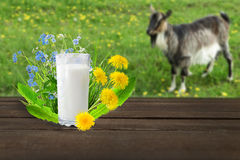 Glass of milk and goat Royalty Free Stock Photo