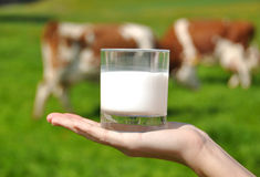 Glass of milk in the hand. Against herd of cows royalty free stock images