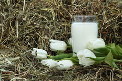 Glass of milk and white tulips on hay Stock Photos