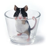 Glass of... mouse Stock Photography