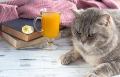 A glass of orange juice, old books and grey scottish straight cat. Free copy space.