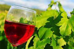 Glass of red wine in a vineyard Royalty Free Stock Image