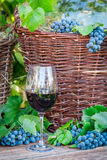 Glass of red wine and a wicker basket with grapes Stock Images