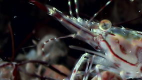 Glass shrimp close up masked in search of food underwater of white sea . stock video