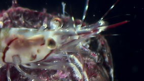Glass shrimp close up masked in search of food underwater of White Sea . stock footage