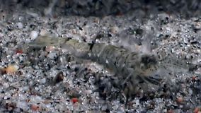 Glass shrimp masked and hides in stones underwater seabed of White Sea. Unique macro video close up. Predators of marine life on the background of pure and stock footage