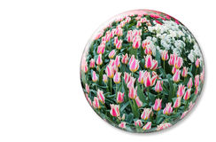 Glass sphere with red white tulips on white background Royalty Free Stock Images
