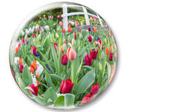 Glass sphere reflecting red tulips flowers Stock Image