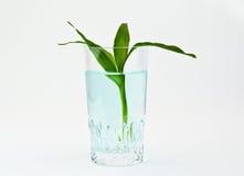 glass växtvatten för bambu Royaltyfri Bild