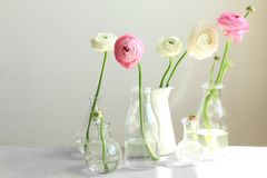 Glass vases with beautiful fresh ranunculus flowers royalty free stock photo