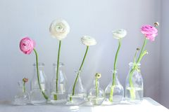 Glass vases with beautiful fresh ranunculus flowers royalty free stock images