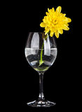 Glass with water and yellow flower isolated Royalty Free Stock Photos