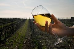 Glass of white wine. A Hand holds one glass of white wine in the vineyards Royalty Free Stock Image