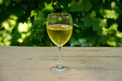 Glass of White Wine with Vineyard in Background. Bedewed Glass of White Vine with Woodbine in BAckground Royalty Free Stock Photography