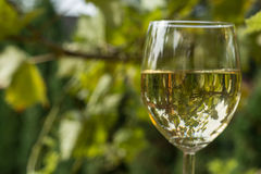 Glass of wine in garden. Glass of  white wine in garden vintage time Stock Photo