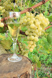 Glass wine and grape. Wine composition: glass with grape in background Royalty Free Stock Photo