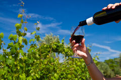 Glass of wine in the  rows of grapes Royalty Free Stock Image