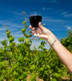 Glass of wine in the  rows of grapes Stock Images