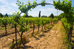 Glass of wine in the rows of grapes Stock Photos