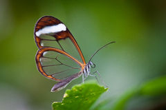 Glass Wing Butterfly. These butterflies are known as Greta Oto and are members of the clearwing clade. Due to their beautiful transparent wings, they are also royalty free stock images