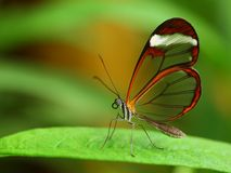 Glass wing butterfly Stock Image