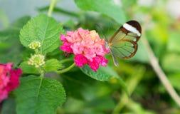 Glass Wing Butterfly Fotografering för Bildbyråer