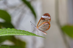 Glass Wing Butterfly Royalty Free Stock Images