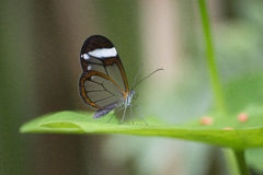 Glass wing utterfly Stock Image