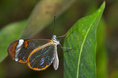 Glass-winged butterfly Stock Image