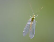 Glass Winged Insect Royalty Free Stock Photo