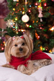 Glass. Yorkshire Terrier in terms of Studio shooting. In front of the tree. The dog is lying on the pillow. Christmas card Royalty Free Stock Image